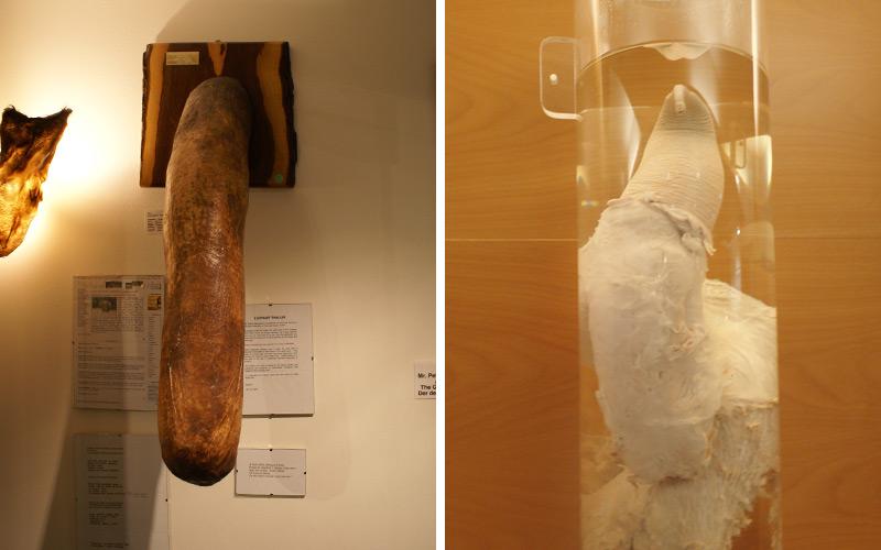 Elephant penis, iceland phallological museum